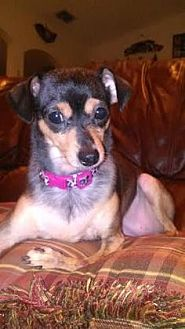 Chihuahua Mix Dog for adoption in Loxahatchee, Florida - Lilly Rose