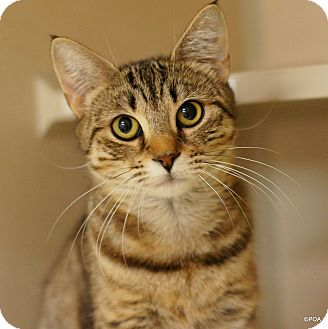 Domestic Shorthair Cat for adoption in East Hartford, Connecticut - Molly