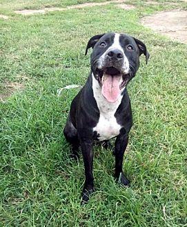 American Pit Bull Terrier Mix Dog for adoption in Oakhurst, New Jersey - Riddick