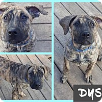 Pit Bull Terrier Puppy for adoption in Berea, Ohio - Dysis