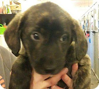 Australian Shepherd/Border Collie Mix Puppy for adoption in Thompson Falls, Montana - Cameron
