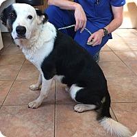 Adopt A Pet :: Chance - Westport, CT