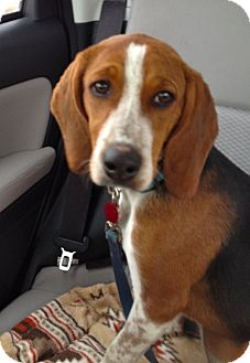 Hurricane Teddy | Adopted Dog | Indianapolis, IN | Beagle ...