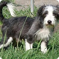 Adopt A Pet :: Kingsley - Norwalk, CT
