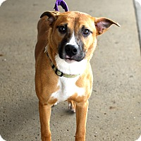 Boxer/Retriever (Unknown Type) Mix Dog for adoption in Detroit, Michigan - Kassie-Foster me?