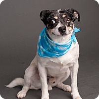 Australian Cattle Dog/Chihuahua Mix Dog for adoption in Phoenix, Arizona - Lorris