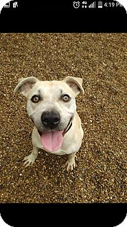 Labrador Retriever/Pit Bull Terrier Mix Dog for adoption in East McKeesport, Pennsylvania - goldie