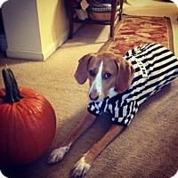 Beagle Mix Dog for adoption in Waldorf, Maryland - Ruby Tuesday Morning