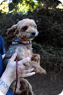 Yorkie, Yorkshire Terrier Dog for adoption in Newark, Delaware - Cookie