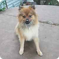 Adopt A Pet :: Zippo - conroe, TX
