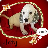 Adopt A Pet :: Hefty-pending adoption - Manchester, CT