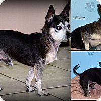 Chihuahua Mix Dog for adoption in DuQuoin, Illinois - Oliver
