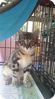 Domestic Shorthair Cat for adoption in Fort Pierce, Florida - Antoine