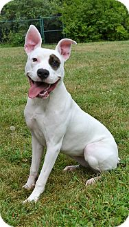 American Pit Bull Terrier/Pit Bull Terrier Mix Dog for adoption in Michigan City, Indiana - Sophie