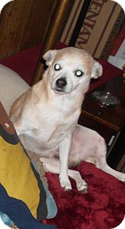 Chihuahua Mix Dog for adoption in Baltimore, Maryland - Cujo (COURTESY POST)