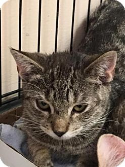 Domestic Shorthair Kitten for adoption in East Brunswick, New Jersey - Candy