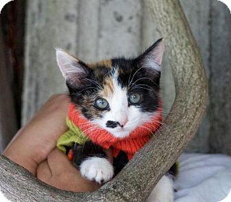 Domestic Shorthair Kitten for adoption in Pittsburg, California - **Deva