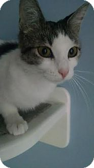 Domestic Shorthair Cat for adoption in Concord, North Carolina - Aspen
