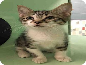 Domestic Mediumhair Kitten for adoption in Plano, Texas - ABRAZO