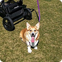 Adopt A Pet :: Roxy - Lomita, CA