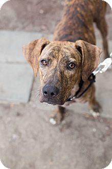 Plott Hound Mix Dog for adoption in Washington, D.C. - Katniss