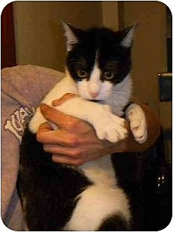 Domestic Shorthair Cat for adoption in Orlando, Florida - Mork