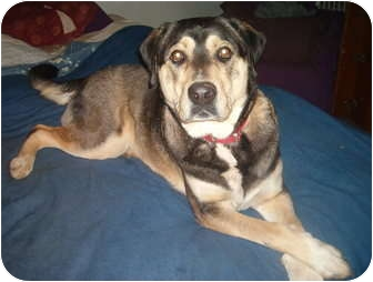 Husky/Labrador Retriever Mix Dog for adoption in North Jackson, Ohio - Max(2)