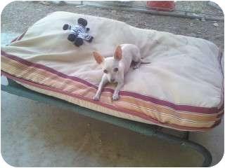 Chihuahua Dog for adoption in Scottsdale, Arizona - Lulu