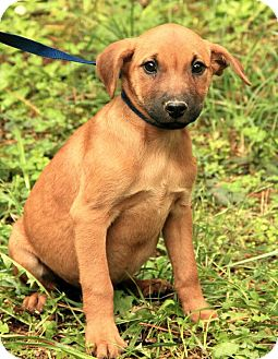Shepherd (Unknown Type)/Boxer Mix Puppy for adoption in Windham, New Hampshire - Patty ($50.00 off)