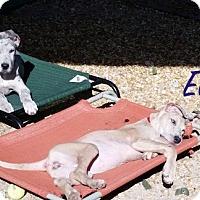 Adopt A Pet :: ELSA - Boca Raton, FL