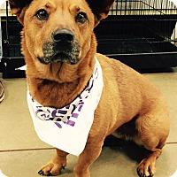 Adopt A Pet :: Dingo - Orlando, FL