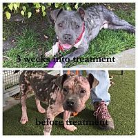 Adopt A Pet :: Miles - West Los Angeles, CA