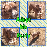 Adopt A Pet :: Beefy - Cheney, KS