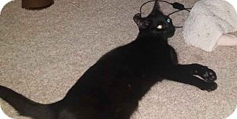 Domestic Shorthair Cat for adoption in Alamo, California - Trevor