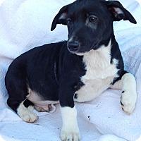 Adopt A Pet :: Muddles (9 lb) Dachshund Body - SUSSEX, NJ