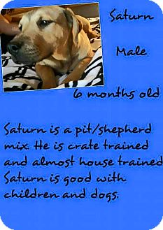 American Pit Bull Terrier/Shepherd (Unknown Type) Mix Puppy for adoption in Stephenville, Texas - Saturn