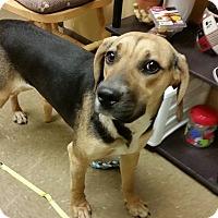 Adopt A Pet :: Josie - Joliet, IL
