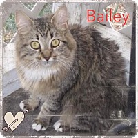 Adopt A Pet :: Bailey - Harrisburg, NC