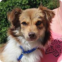 Adopt A Pet :: Scarlett (Has Application/Needs Foster) - Washington, DC