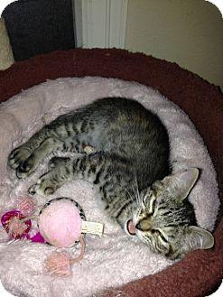Domestic Shorthair Cat for adoption in Houston, Texas - WANDA