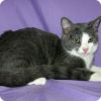 Domestic Shorthair Cat for adoption in Powell, Ohio - Odie