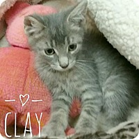 Domestic Shorthair Kitten for adoption in Kendallville, Indiana - Clay