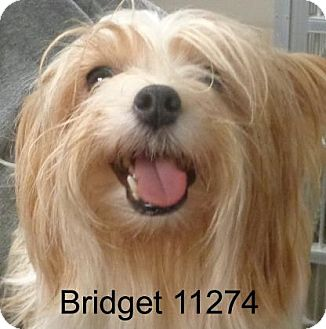 Silky Terrier Dog for adoption in Alexandria, Virginia - Bridget