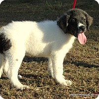 Bullmastiff/Great Pyrenees Mix Puppy for adoption in PRINCETON, Kentucky - Jake