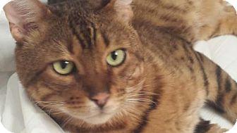Bengal Cat for adoption in Toronto, Ontario - Hemingway