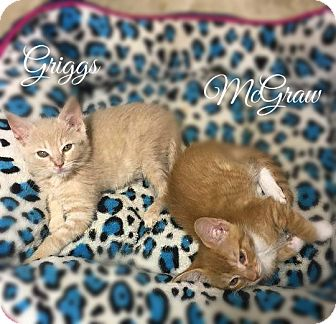 Domestic Mediumhair Kitten for adoption in Columbia, Tennessee - Griggs
