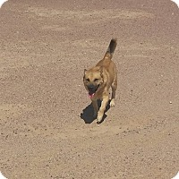 Adopt A Pet :: Shyanne - Phoenix, AZ