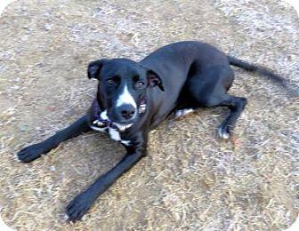 Labrador Retriever/Hound (Unknown Type) Mix Dog for adoption in Franklin, Tennessee - SPRINGSTEEN