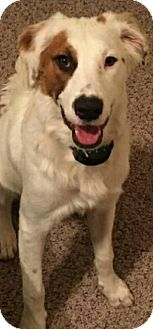 Brittany/Australian Shepherd Mix Dog for adoption in Houston, Texas - Chesney