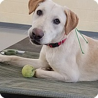 Labrador Retriever Dog for adoption in Hagerstown, Maryland - Marley